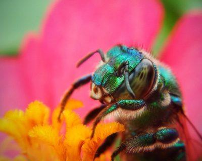 Comment agir et réagir à une piqûre d'abeille ?