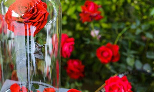 Offrir une rose sous cloche en symbole d'un amour éternel